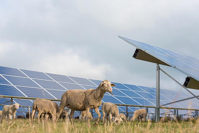 Betande får invid en markförlagd solcellsanläggning